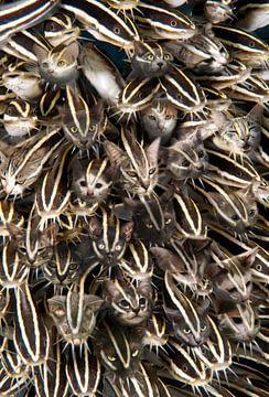 Katten spel van Dray van Beeck