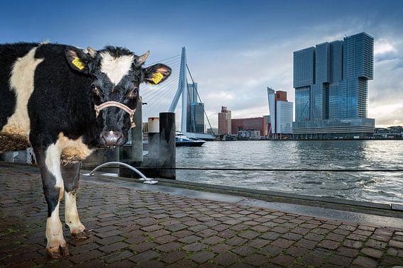 Koe in Rotterdam / Willemskade van Rob de Voogd / zzapback