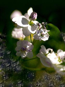Wasserblume  von Christine Nöhmeier