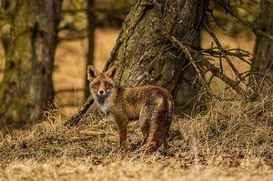 Portret van een vos III van