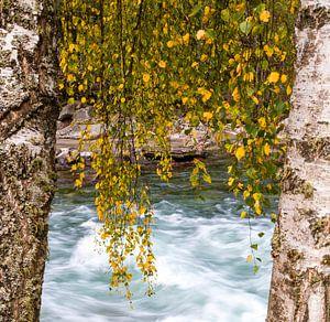 Herfst bladeren in Rondane, Noorwegen