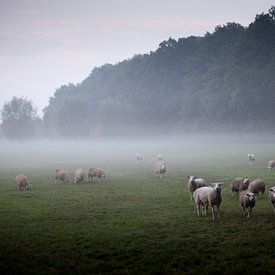 Weiland met schapen in de ochtendnevel van Desiree Meulemans