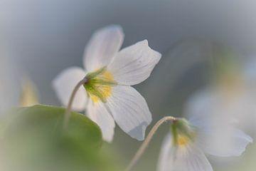 niedliche kleine Waldblume von Tania Perneel