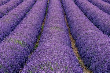 Lavendel droom van Achim Thomae