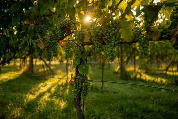 Lever de soleil dans le vignoble sur Annemarie Goudswaard