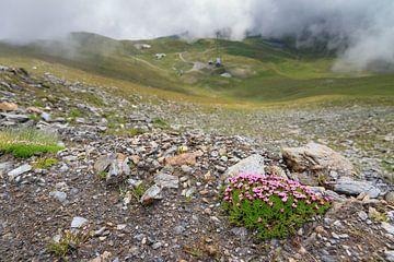 Stengelloze silene in de Zwitserse alpen in de zomer van