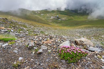 Stengelloze silene in de Zwitserse alpen in de zomer von Dennis van de Water