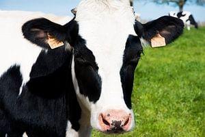 Nahaufnahme einer niederländischen Kuh von Anita Hermans