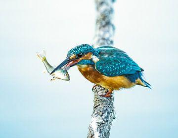 KIngfisher sur Ilse Cardoen