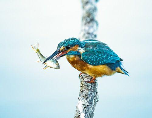 KIngfisher von Ilse Cardoen