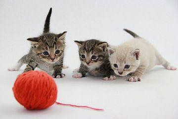 Kätzchen spielen von Tesstbeeld Fotografie
