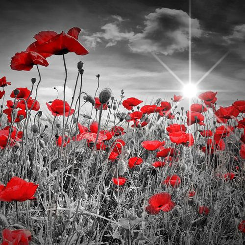Idyllische poppy veld met zon van Melanie Viola