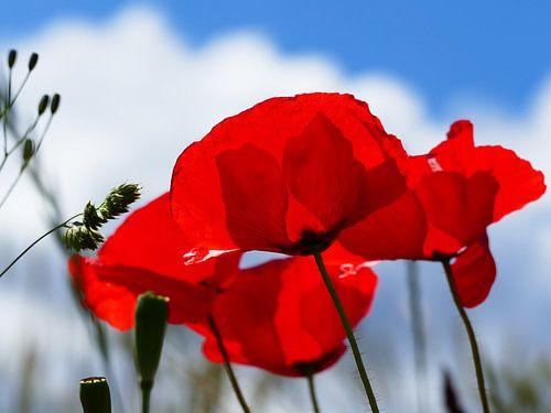 Poppies in the summer 3 van