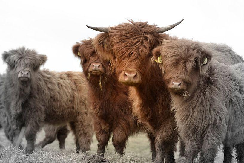 Schotse hooglander groepje 2 kleurig van Sascha van Dam