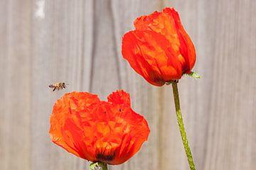 zweefvlieg nadert papaver van mick agterberg