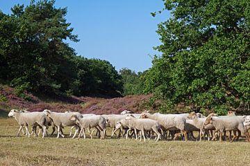 Schapen, Sheep van Yvonne Balvers