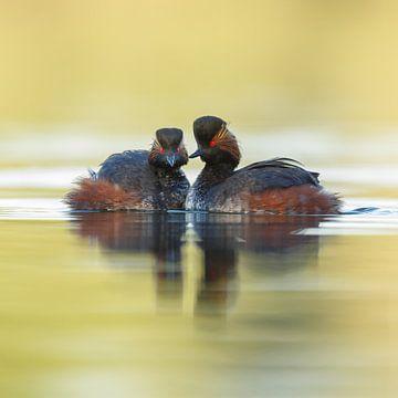 black necked grebe sur
