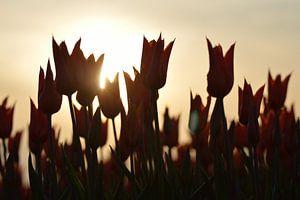 Orange Tulpen an einem schönen sonnigen Tag