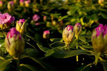 bloemenstruik van rhododendron | botanische fine art kunst van Karijn | Fine art Natuur en Reis Fotografie