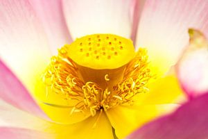 Close-up van een Waterlelie / Rose Nymphaea