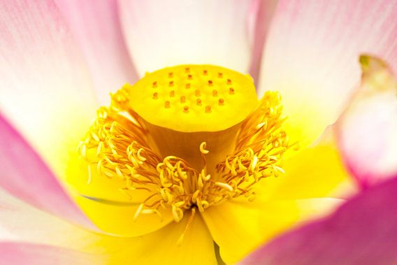 Close-up van een Waterlelie / Rose Nymphaea  van Evert Jan Luchies
