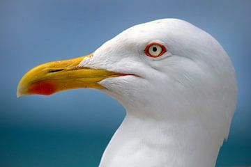 meeuw vogel von Niels  de Vries
