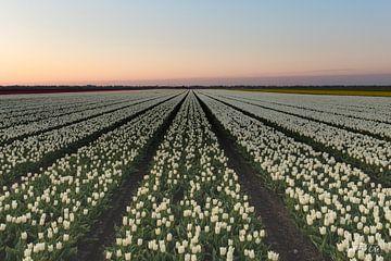 Tulpenfeld am Vormittag von Ina Muntinga
