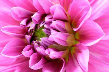 Pink Dahlia sur Frits Vrielink