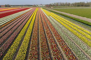 Bollenvelden in bloei bij Lisse (tulpen) van