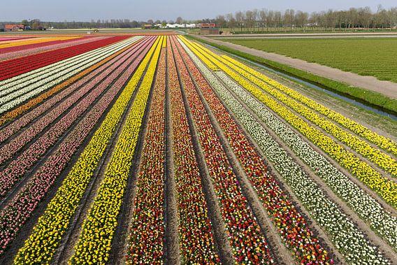 Bollenvelden in bloei bij Lisse (tulpen)