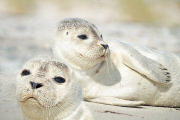 Kleine zeehonden van Martina Fornal
