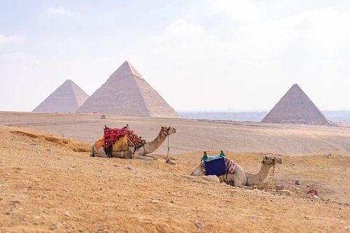 Kamelen bij Piramides van Gizeh, Egypte