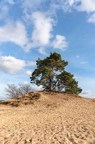 Denneboom en zandverstuiving