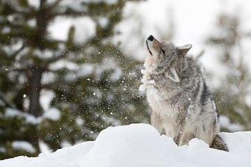 Kojote ( Canis latrans ), schüttelt sich Schnee und Eis aus dem Fell, wildlife, Yellowstone NP, USA. von wunderbare Erde
