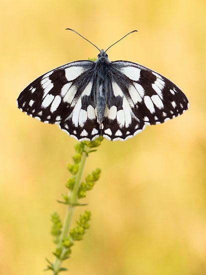 Dambordje (Melanargia galathea) vlinder rustend op een bloem van Nature in Stock