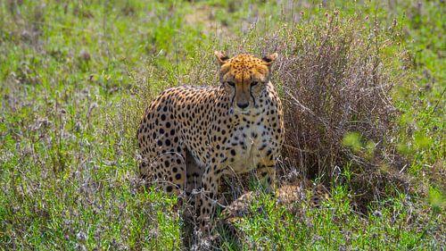 Moeder cheetah van