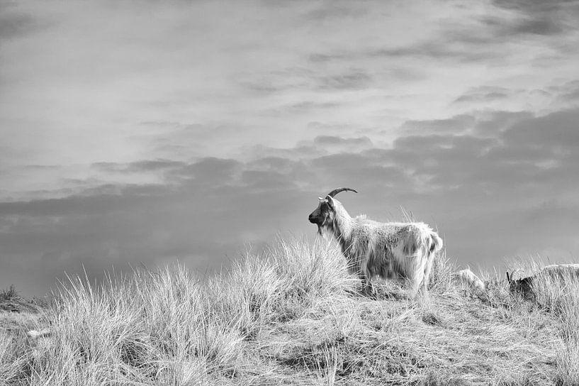 Ziegen auf einer Düne sur Jan Brons