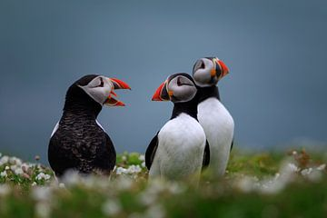 groupe de macareux sur l'île Skomer au large du Pays de Galles sur gaps photography