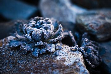 Felspflanze im Himalaja von Tessa Louwerens