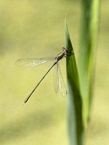 Libelle von Jeanette van Starkenburg