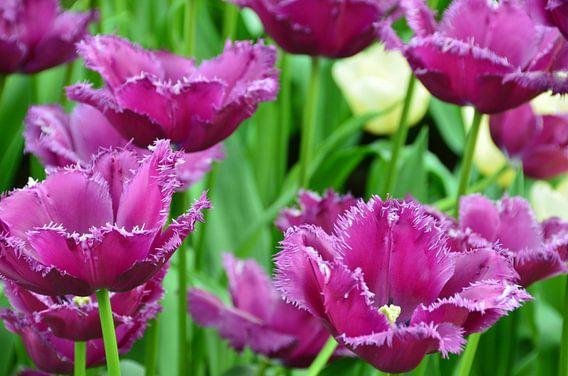 Paars gekartelde Tulpen veld van Marcel van Duinen