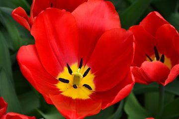 Tulipa Perferct Red sur Marcel van Duinen