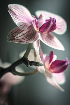 Phalaenopsis von Alessia Peviani
