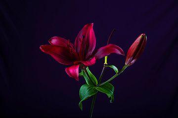 bloem op donkere achtergrond van Sylvain  Poel