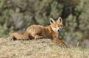 Liggende jonge vos