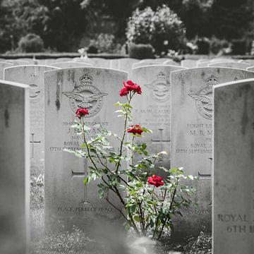 Rosen auf dem Friedhof von Jasper Scheffers