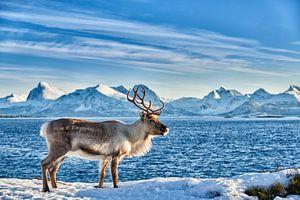 Rendier op zee tegen besneeuwde bergen