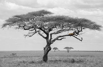 Luipaard in boom Serengeti Tanzania van Esther Scherpenzeel
