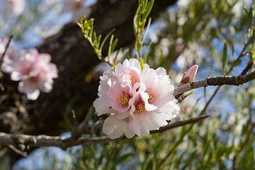 Mandelblüte 2 von Montepuro