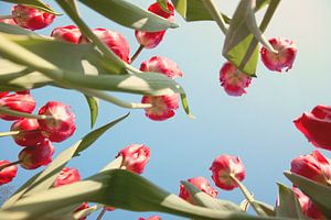 Rode tulpenveld van onderen